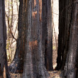 Stock Photo: Scorched trees after forest fire