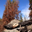 Scorched trees after forest fire — Stock Photo #1148283