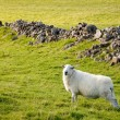 Stock Photo: Welsh lamb in verdant meadow