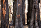 Scorched trees after forest fire — Stock Photo
