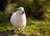 Welsh lamb in verdant meadow — Stock Photo