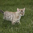 Small bengal kitten — Stock Photo