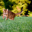 Orange bengal cat facing camera — Stock Photo