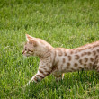 Royalty-Free Stock Photo: Young bengal kitten
