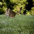 Bengal Cat in grass - Stock Photo