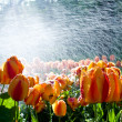 Stock Photo: Tulips against spray