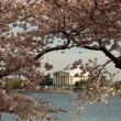 Jefferson Memorial framed by Cherry Blos — Stock Photo