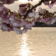 Cherry Blossom in front of sunset — Stock Photo