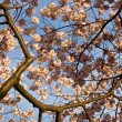 Cherry Blossom Close Up — Stock Photo