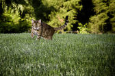 Bengal Cat in grass — Stock Photo