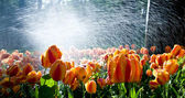 Tulips against spray — Stock Photo