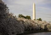 Cherry Blossoms underpinning Washington — Stock Photo