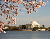 Cherry Blossom and Jefferson Monument — Stock Photo
