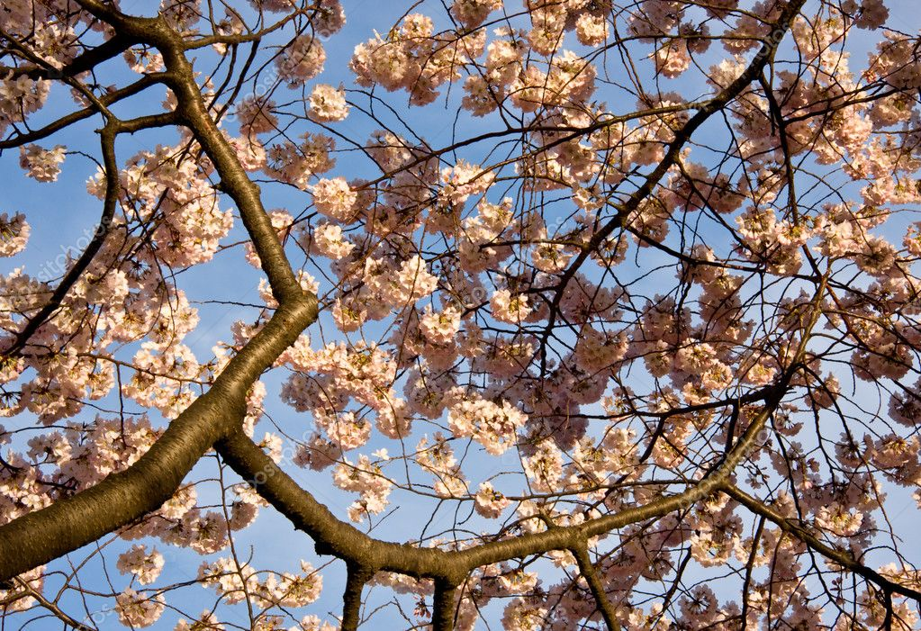 Close up of cherry blossoms with branches leading into the picture  Stock Photo #1175682