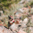 Постер, плакат: Chipmunk chewing a nut