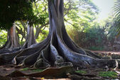Raíces de árboles jurásico — Foto de Stock