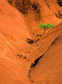 Lone green tree in red sand valley — Stock Photo