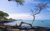 Gnarled tree frames an ocean bay — Stock Photo