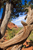 Gnarled trunk frames Sedona Landscape — Stock Photo