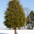 Single conifer in the snow — Stock Photo