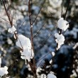 Snow on bare twigs in winter — Stock Photo