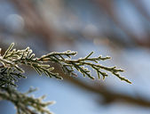 Sunlit frosted pine needles — Stock Photo