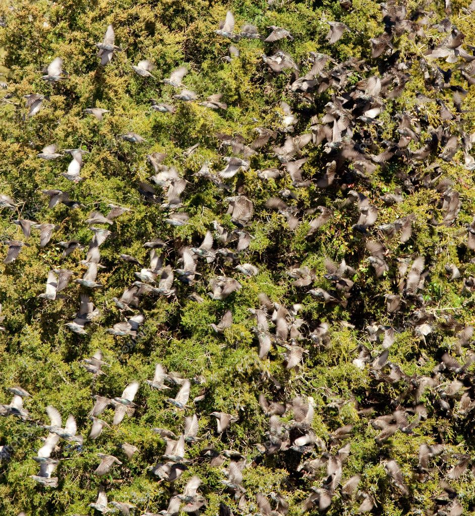 Large flock of starlings on a green conifer tree after eating the berries — Stock Photo #1511421