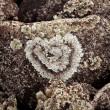 Heart shaped lichen on rock — Stock Photo