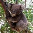 Koala Bear in tree - Stock Photo
