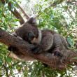 Koala beer in boom — Stockfoto