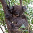 Koala Bear in tree — Stock Photo #1948327