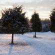 Trio of snow covered evergreens — Stock Photo #1948329
