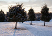 Trio of snow covered evergreens — Stock Photo