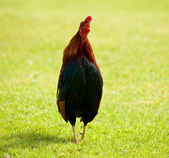Wild cockerel on Kauai — Stock Photo