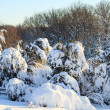 Snow covered conifer trees — Foto de Stock