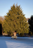 Bench under large conifer tree — Stock Photo