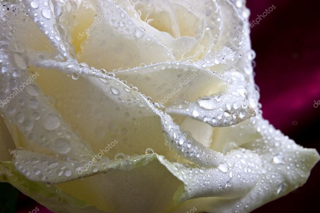 Rose bud in water drops — Stock Photo #1095840