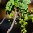 Green currant on a bush in the summer - Stock Photo