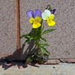 Stock Photo: Violet plant growing on concrete. W