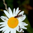 White flower with a fly — Stock Photo