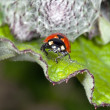 Stock Photo: Ladybird on leaflet searches Aphid