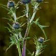 Stock Photo: Thistle bush in garden