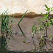 Stock Photo: Grass growing in pond