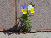 The violet plant growing on concrete. W — Stock Photo