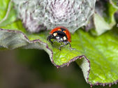 The ladybird on a leaflet searches Aphid — Stock Photo