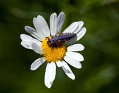 The ladybird larva sits on a camomile — Stockfoto