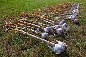 Garlic is dried on the summer sun — Stock Photo