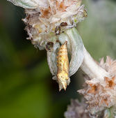 The cocoon of an insect hangs on a flowe — Stock Photo