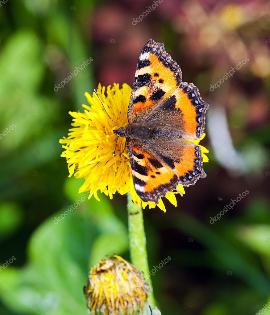 The butterfly collecting pollen on a flower — Stock Photo #1027777