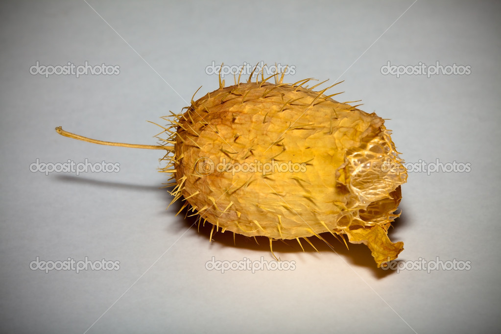 Dry fruit Ecballium elaterium without seeds in the late autumn  Stock Photo #1027811